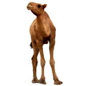 Camel sticker widget