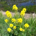 Wild Mustard (in flower)