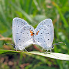 Eastern Tailed Blue - mating pair