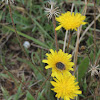 Flower chafer on a dandelion