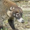 coatí de nariz blanca - pisote - antón - white-nosed coati
