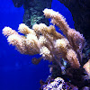 Cathedral coral -soft coral