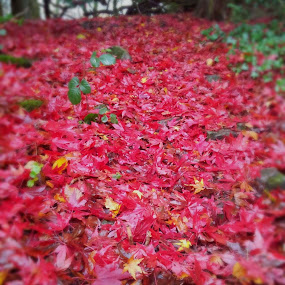 Red carpet by Kathryn Johnson - Nature Up Close Leaves & Grasses ( colour, red, nature, season, autumn, leaves,  )