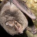 Common Bent-wing Bat