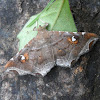 Episparis moth