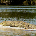 Mugger Crocodile