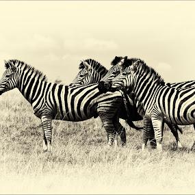 The Gang by Richard Ryan - Animals Other Mammals ( zebra,  )