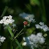 Red-black Shieldbug