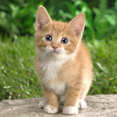 Phiphou Kitten