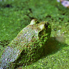 Ain't Easy Being Green by Suzanne Tutak - Animals Amphibians ( water, nature, frog, green, amphibian, algae, pond, animal,  )