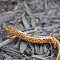 Amphibians of Ohio