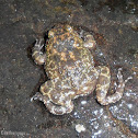 Kirtisinghe's rock frog