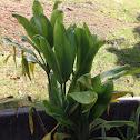 Hawaiian Ti. leaves