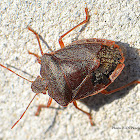 Gteen Shield Bug