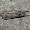 Cossid Moth -13 - ♀