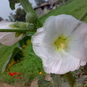 White Hollyhock Flower