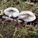 Silky mycena