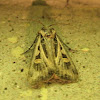 Dingy Cutworm Moth