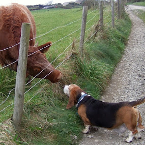 Basset meets Cow..  by Mark Milham - Animals - Dogs Playing ( pet, cow, basset hound, basset, fun, dog )