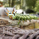 Hickory Horned Devil Catepillar