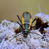 Colorado Mountains Soldier Beetle