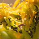 stonecrop aphid