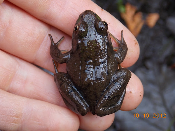 Northern Green Frog | Project Noah