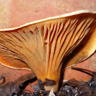 Austropaxillus infundibuliformis