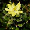 Alpine Star-bush