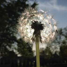 Dandelion  by Kathryn Smith - Nature Up Close Other plants