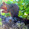 Squirrel eating Oak Gall