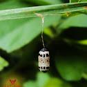 Ichneumon Wasp (cocoon)