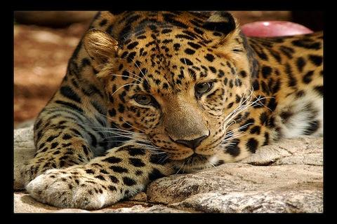 Leopard Wallpaper LWP