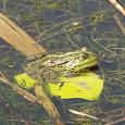 Midwest Amphibian Study