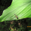 Ant-Spider