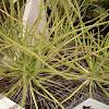 Dewy Pine