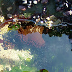 Phymactis papillosa