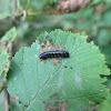 Alder leaf beetle (larva)