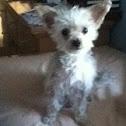 Yorkie (dog)