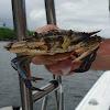 swimming crabs, Siri-azul