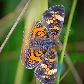 Orange moth by Steve Friedman - Animals Insects & Spiders ( orange, wings, moth,  )