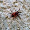 Feuerwanze  Firebug