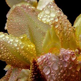 Yellow iris upclose by Liz Hahn - Nature Up Close Natural Waterdrops (  )