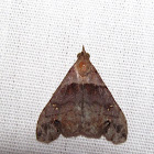 Ambiguous Moth (male)