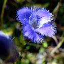 Smaller Fringed Gentian