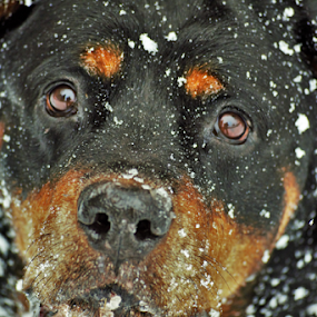 by Denise Johnson - Animals - Dogs Portraits ( animals, dogs, german rottweiler, winter, cold, pet, pets, snow, dog,  )