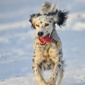 by Andrew Lawlor - Animals - Dogs Running (  )