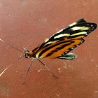 Polymnia Tigerwing