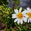 Rock Daisy-bush