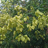 Panicled Goldenrain Tree flowers and fruit